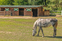 A beautiful horse on a summer playground in the background of a fragment of a stable in Mezhyhiria near Kiev. stock photos