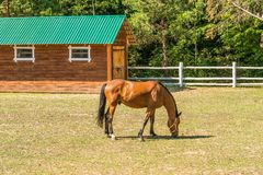 A beautiful horse on a summer playground in the background of a fragment of a stable in Mezhyhiria near Kiev. royalty free stock image