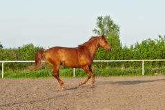 Beautiful horse Royalty Free Stock Photography