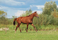 Beautiful  horse trotting at the meadow Stock Images
