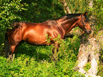 Beautiful horse in verdure Royalty Free Stock Photography