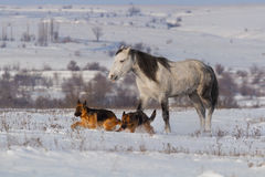 Beautiful horse walk in winter snow  with dogs Royalty Free Stock Photography