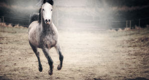 Beautiful horse with a white muzzle running on autumn pasture Royalty Free Stock Photos