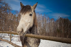 Beautiful horse in winter Royalty Free Stock Photography