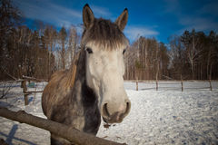 Beautiful horse in winter Stock Image