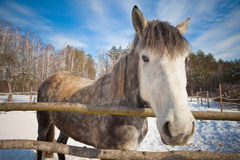 Beautiful horse in winter Stock Images