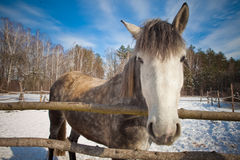 Beautiful horse in winter Royalty Free Stock Image