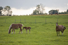 Beautiful Horses. In the field Royalty Free Stock Images