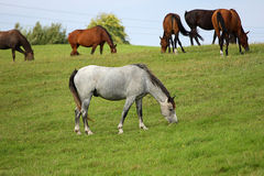 Beautiful horses. Five Grazing Brown and one white Horse on the Field Stock Photography