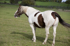 Beautiful Horses. A Brown & White horse in the field Royalty Free Stock Image