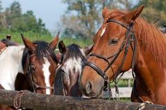 Beautiful Horses Stock Images