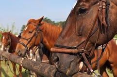 Beautiful Horses Royalty Free Stock Image