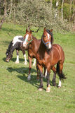 Beautiful Horses. In the grass field Royalty Free Stock Image