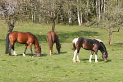 Beautiful Horses. In the grass field Stock Photo
