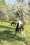 Beautiful Horses. In the grass field Royalty Free Stock Images