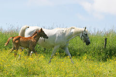 Beautiful horses. In the grass field Stock Images