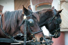 Beautiful horses. In blinkers at the barnyard Stock Images