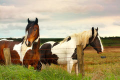 Beautiful horses close up. Beautiful horses in scottish fields close up Royalty Free Stock Photography