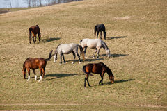 Beautiful horses Royalty Free Stock Images