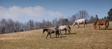 Beautiful horses Royalty Free Stock Photo