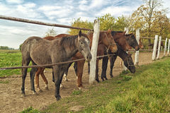 Beautiful Horses on the Farm ranch Royalty Free Stock Images