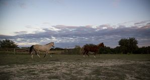 2 Beautiful Horses Gallop Across Texas Hill Country stock photography