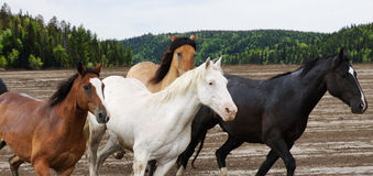 Beautiful Horses Galloping Stock Photography