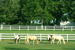 Beautiful horses grazing Stock Images