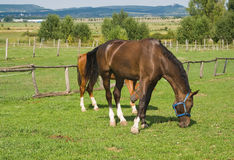 Beautiful horses on a grazing at a farm. Stock Photos