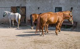 Beautiful horses on a grazing at a farm. Stock Image
