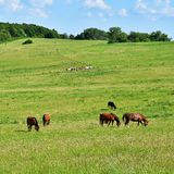 Beautiful horses grazing freely in nature.Beautiful natural colored background with wild animals. Stock Images