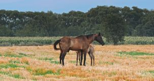 Beautiful horses in the green meadow stock footage