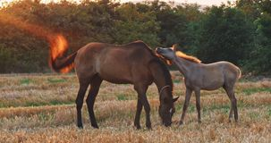 Beautiful horses in the green meadow stock video