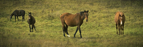 Beautiful horses on green meadow stock photography