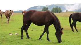 Beautiful horses on green pasture stock footage
