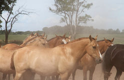 Beautiful horses herd on the Argentina ranch. Stock Image