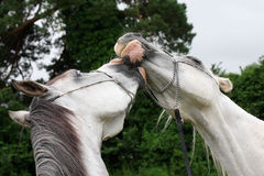 Beautiful horses in love Royalty Free Stock Photos