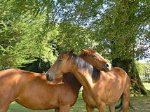 Beautiful horses in love. Two horses on a meadow in love stock photos