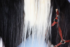 Beautiful Horses Mane. Close-up of horses mane, black and white, with red harness Stock Images