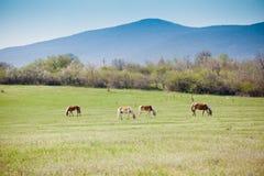 Beautiful horses Royalty Free Stock Photography