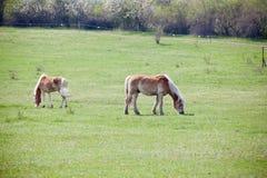 Beautiful horses Stock Image