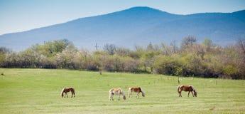 Beautiful horses Stock Photography