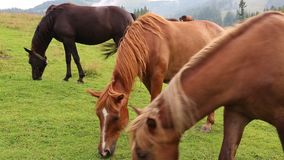 Beautiful horses in meadow stock footage