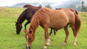 Beautiful horses in meadow stock footage