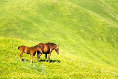 Beautiful horses on green grass, in the mountains Stock Photos