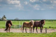 Beautiful Horses in Paddock Royalty Free Stock Photos