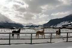 Beautiful horses playing in the barn in the snowy alps switzerland in winter Stock Photo