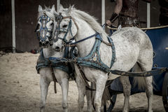 Beautiful horses, Roman chariot in a fight of gladiators, bloody Stock Photography