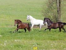Beautiful Horses run free in paddock Royalty Free Stock Photos