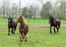 Beautiful Horses Running In The Rain Stock Images